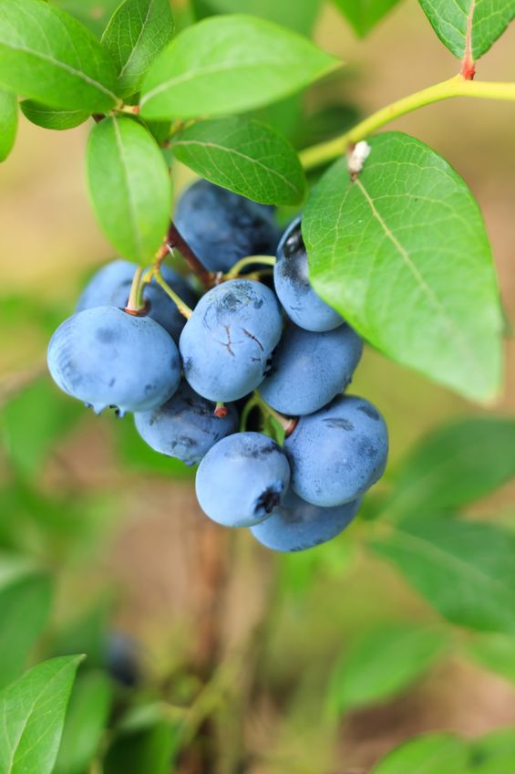 Blueberry May Block the Absurdly Carcinogenic Effects of Cancer Treatment