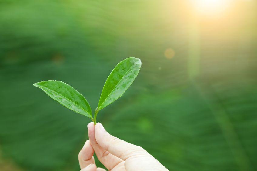 Lidé mohou Havest sluneční energii přímo jako rostliny?