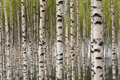 Birch Tree Xylitol