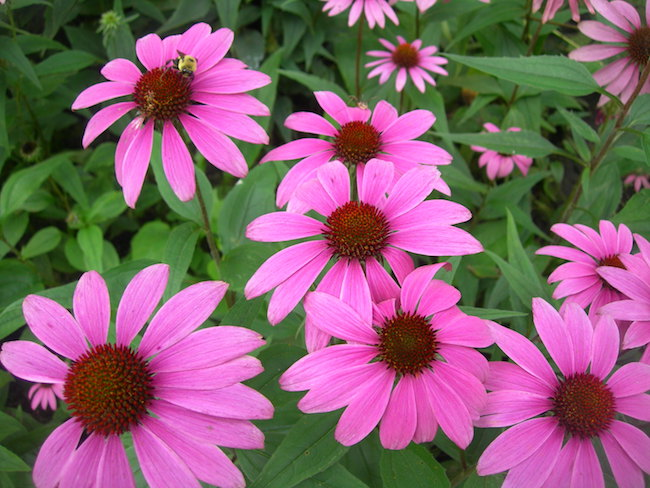 No Just For Colds: Echinacea's 8 Evidence-Based Uses