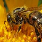 Colony Collapse Disorder Is a Fraud: Pesticides Cause Bee Die-Offs