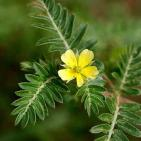 Tribulus Terrestris Improves Libido In Women