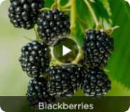 Blackberry - Weekly Member Exclusive Video