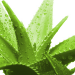 Research: A Tsp. of Aloe Daily Reverses Signs of Skin Aging