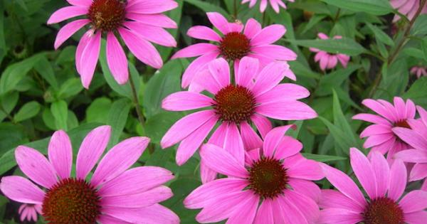 Not Just For Colds: Echinacea's Many Evidence-Based Uses