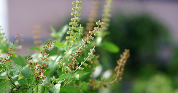 Holy Basil: A Natural Alternative to Mouthwash