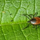 Stevia Kills Lyme Disease Pathogen Better Than Antibiotics (Preclinical Study)